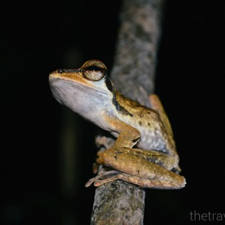 Sarawak Frogging Safari