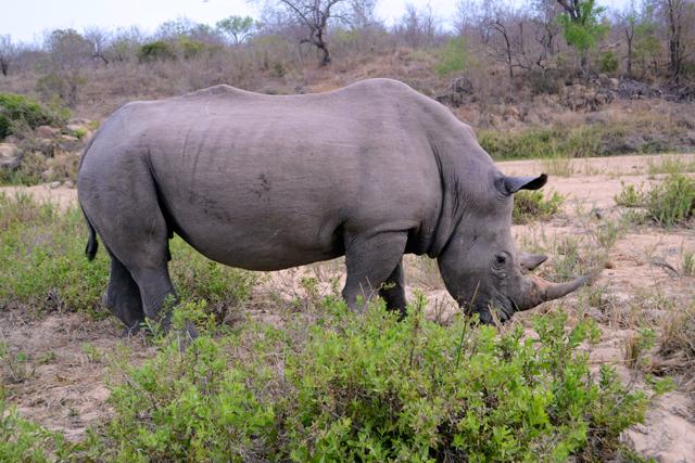 Rhino Kruger Park