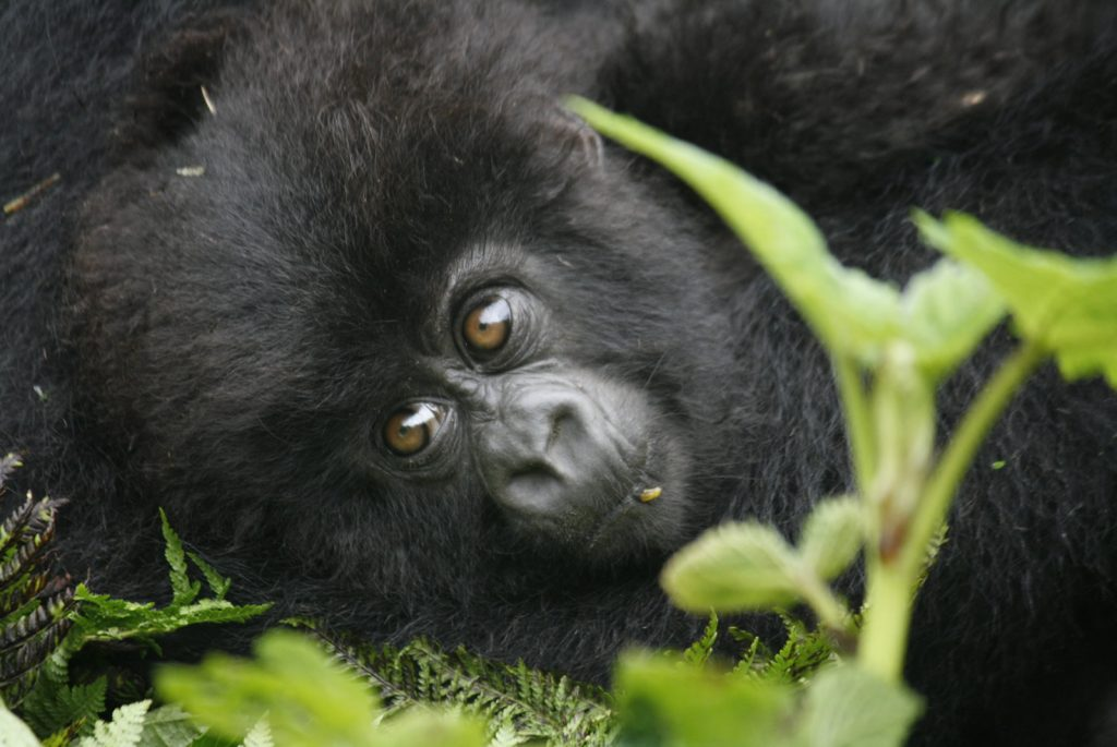 Gorilla Trekking in Volcanoes National Park of Rwanda